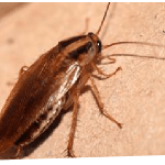 Cockroach Control Canberra