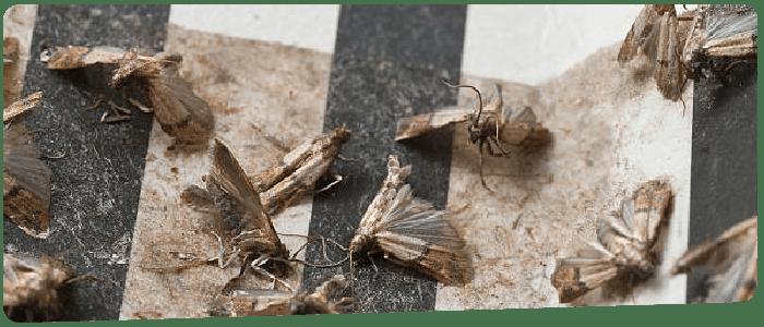 Moth Control Canberra